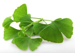 Gingko Biloba's leaf