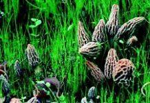 morel mushroom seeds